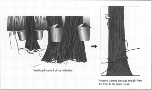 To collect maple sap, holes are drilled into the trees and hollow spikes are inserted. Traditionally, pails collected the syrup that dripped out, but modern systems send the sap directly to the sugar house.